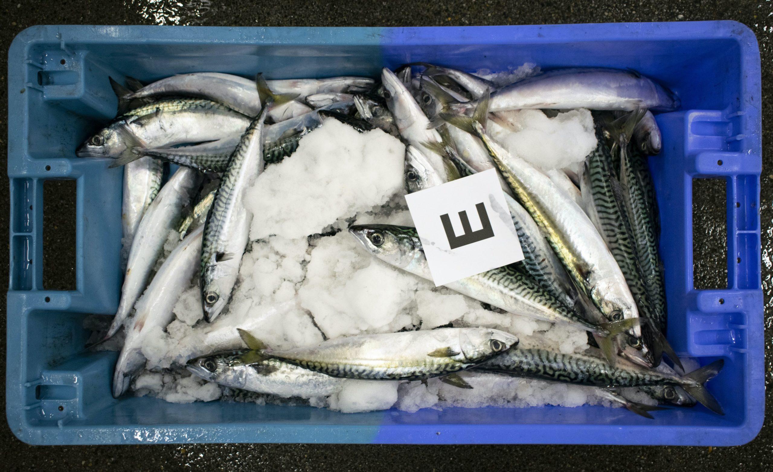 Een kist makreel beoordeeld met de hoogste kwaliteit 'E'.